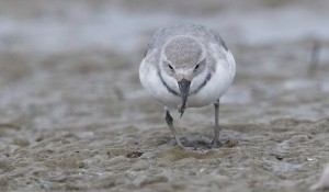 Wrybill foraging - IanSouthey