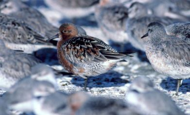Red Knots in breeding and non-breeding plumage Photo Credit: Brian Chudleigh