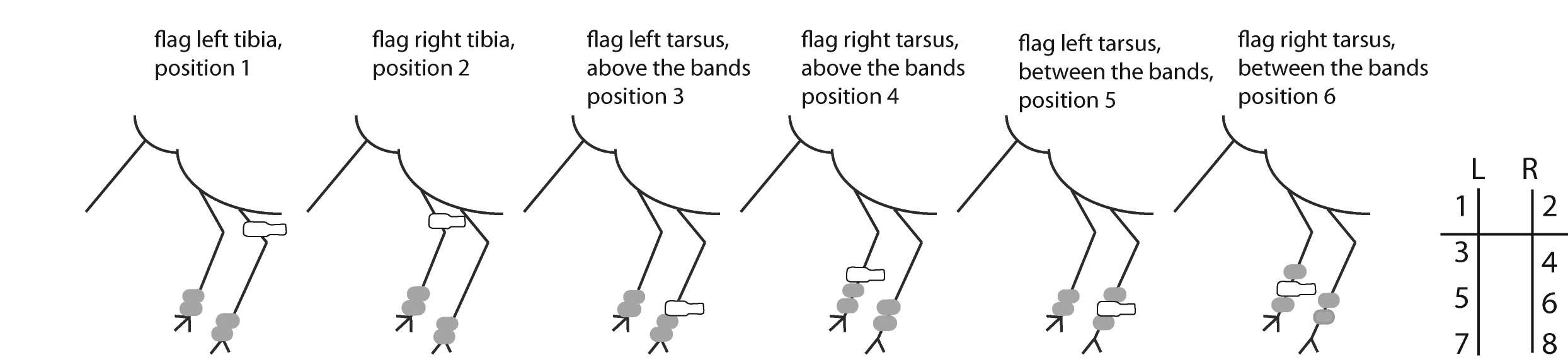 Reading flags and bands – Pūkorokoro Miranda Shorebird Centre