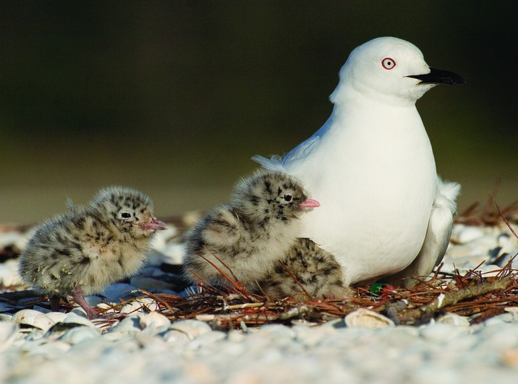 Black-billed Gull and Chicks
