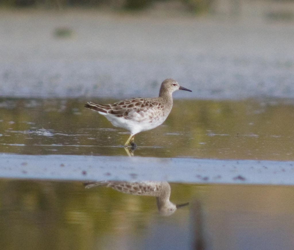 In 2005 the Ruff at Miranda did not stay for long. Photo Brian Chudleigh