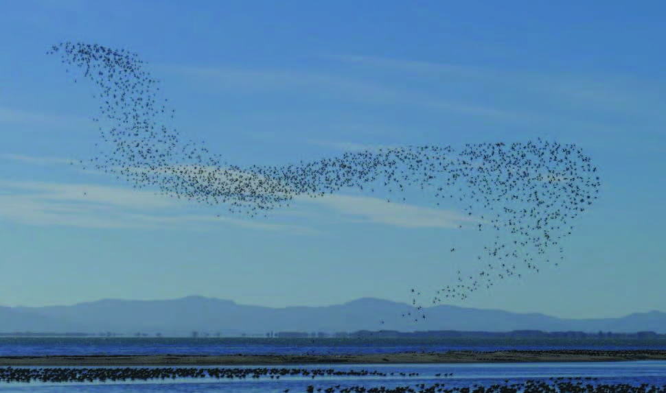A flock of Wrybill flying in the formation that looks similar to the shape of a flung scarf. Shellbank is below and Coromandel Range behind.