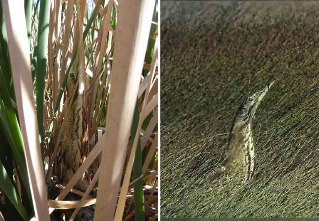HARD TO FIND: Bitterns are difficult to research because they are masters of disguise. Photos / Emma Williams