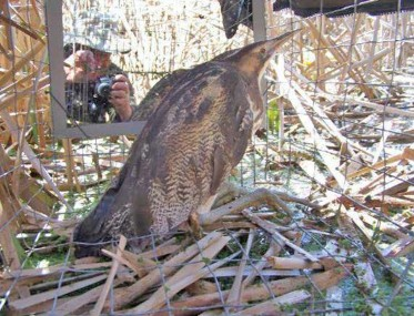 CAUGHT: A bittern caught in a cage trap has to put up with the attentions of the paparazzi. Photo / Emma Williams