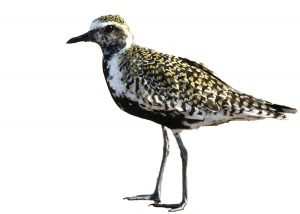 Pacific Golden Plover in breeding plumage.