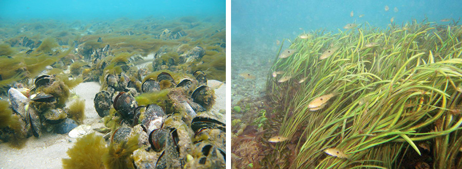 AGENTS OF REVIVAL: Artificial beds of eelgrass in Whangapoua Estuary (right) and the surviving mussel reef off Great Barrier Island are just the beginning of what the Gulf needs. Photos / Ian McLeod, Crispin Middleton.