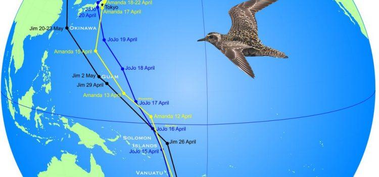 Satellites track 3 Kuriri all the way to the Arctic