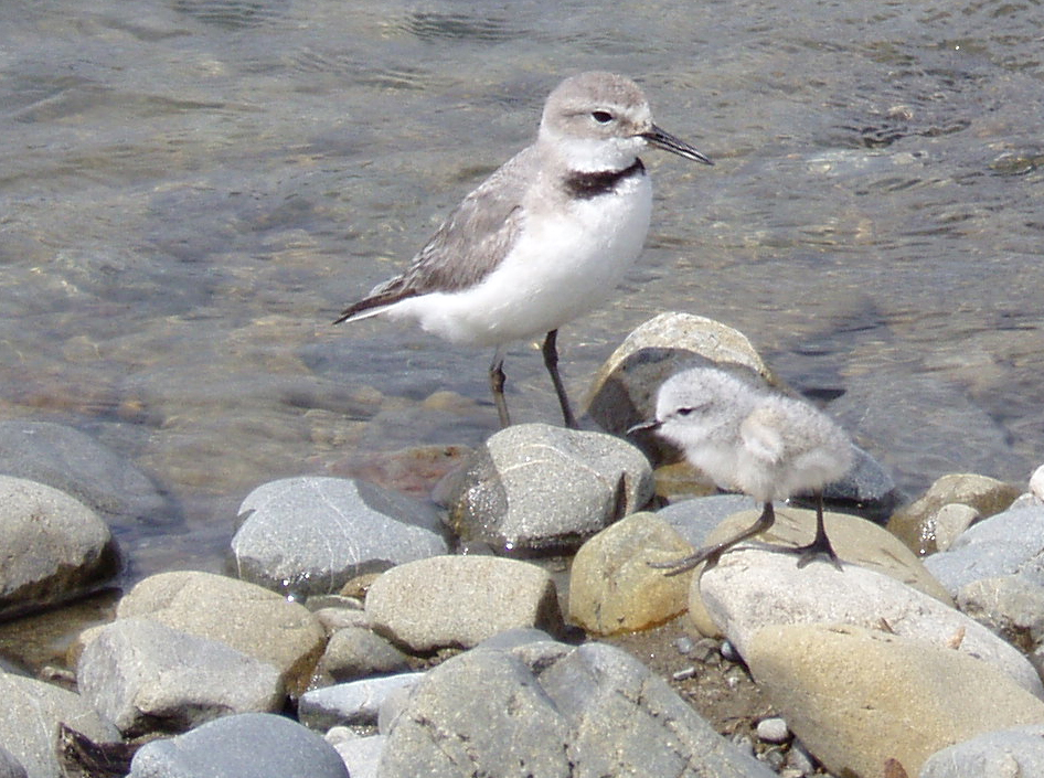 This image has an empty alt attribute; its file name is Wrybill-and-chick.jpg